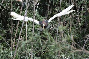 アカガシラサギの羽ばたきの写真素材 [FYI04887095]