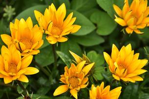 ガザニア(キク科ガザニア属)のオレンジ色の花とつぼみの写真素材 [FYI04887594]