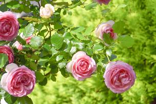 バラ(バラ科バラ属)の白色の縁取りのあるピンク色の花と葉の写真素材 [FYI04887628]