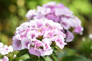 アメリカナデシコ(ナデシコ科ナデシコ属別名ビジョナデシコやヒゲナデシコ)の全体が白で花芯付近がピンク色の花と葉の写真素材 [FYI04887641]