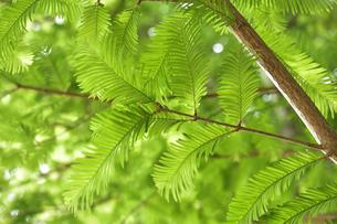 メタセコイア(ヒノキ科またはスギ科メタセコイア・属落葉樹・和名アケボノスギ)の枝と葉の写真素材 [FYI04887648]