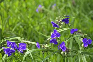 ムラサキツユクサ(ツユクサ科ムラサキツユクサ属)の紫色の花とつぼみの写真素材 [FYI04887650]