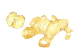 ショウガの水彩画のイラスト素材 [FYI04887871]
