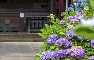 神社とあじさいの写真素材 [FYI04887879]