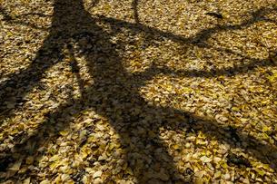 祖父江町のイチョウ木の影と落ち葉の写真素材 [FYI04888019]