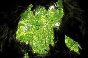 6月 鳥海山の名勝沼の大カツラの写真素材 [FYI04888111]