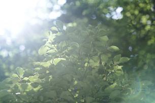 逆光で輝く木々の写真素材 [FYI04888152]