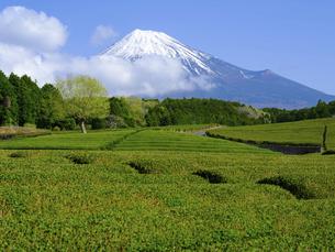 静岡県 茶畑と富士山の写真素材 [FYI04888347]