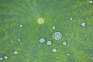 ハスの葉にのる水玉の写真素材 [FYI04888373]