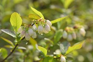 ブルーベリーの花の写真素材 [FYI04888480]