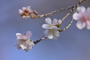 冬桜の写真素材 [FYI04888543]