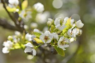 ナシの花の写真素材 [FYI04888556]