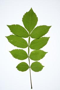 ヌルデの葉の写真素材 [FYI04888590]