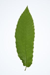 クリの葉の写真素材 [FYI04888593]
