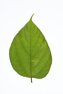 コウゾの葉の写真素材 [FYI04888602]