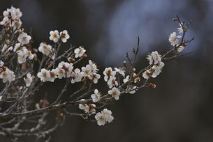 白梅の写真素材 [FYI04888606]