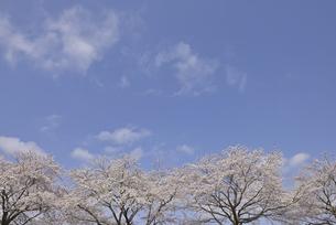 ソメイヨシノと青空の写真素材 [FYI04888625]