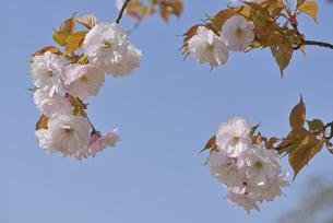 桜 一葉の写真素材 [FYI04888635]