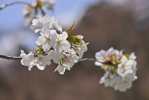 桜 赤実大島の写真素材 [FYI04888642]