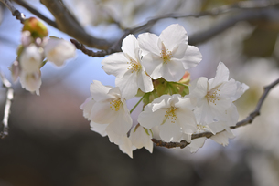 桜 赤実大島の写真素材 [FYI04888643]
