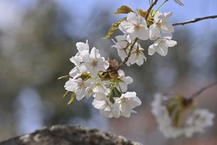 桜 赤実大島の写真素材 [FYI04888646]