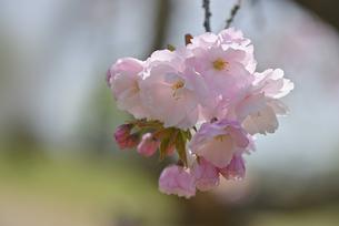 桜 福禄寿の写真素材 [FYI04888656]