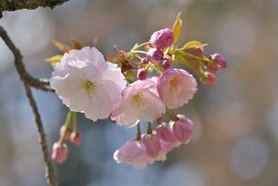 桜 福禄寿の写真素材 [FYI04888657]