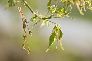 ネグンドカエデ花芽の写真素材 [FYI04888671]