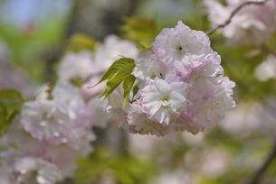 桜 松月の写真素材 [FYI04888700]