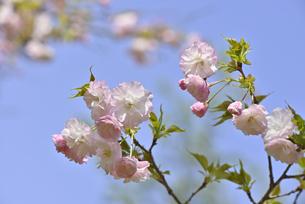 桜 松月の写真素材 [FYI04888703]
