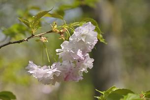 桜 松月の写真素材 [FYI04888704]