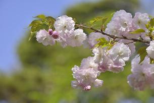 桜 松月の写真素材 [FYI04888705]