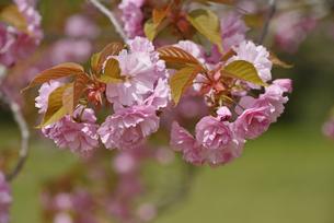 桜 関山の写真素材 [FYI04888714]