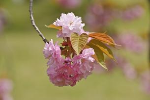 桜 関山の写真素材 [FYI04888715]