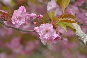 桜 関山の写真素材 [FYI04888716]