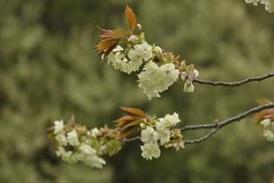 桜 鬱金の写真素材 [FYI04888718]