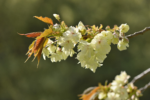 桜 鬱金の写真素材 [FYI04888720]