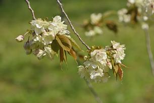 桜 鬱金の写真素材 [FYI04888721]