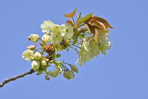 桜 鬱金の写真素材 [FYI04888722]