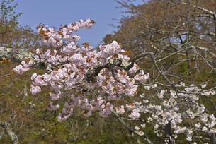 桜 一葉の写真素材 [FYI04888747]