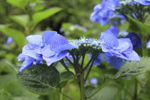 雨の季節に満開の青いアジサイの花の写真素材 [FYI04888800]