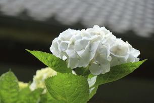 日本家屋の瓦屋根に映える白いアジサイの花の写真素材 [FYI04888816]