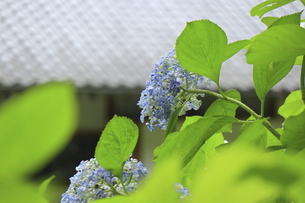 梅雨の季節の美しいアジサイの花の写真素材 [FYI04888848]