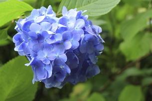 満開の可愛らしい青いアジサイの写真素材 [FYI04888914]