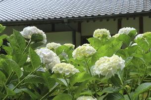 お寺の本堂の瓦屋根を背景に咲き誇る白いアジサイの花の写真素材 [FYI04888919]