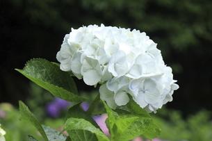 満開の美しい白いアジサイの写真素材 [FYI04888956]