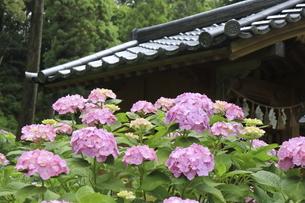 神社のお社の周りに咲くピンク色のアジサイの花の写真素材 [FYI04888978]