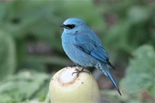 珍鳥ロクショウビタキ、下尾筒にのみ白い模様がある。幸福を呼ぶ青い鳥。の写真素材 [FYI04889040]