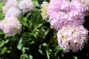 メルヘン ピンクの紫陽花の写真素材 [FYI04889045]