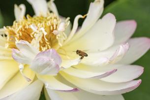 ハスの花のクローズアップ画像の写真素材 [FYI04889132]